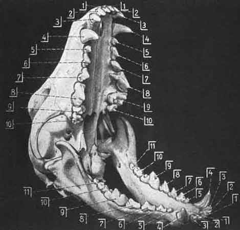 Dentition of the Dobermann